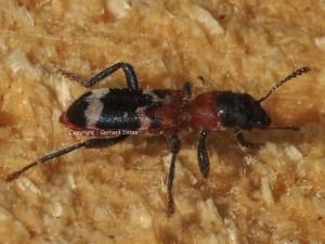 Thanasimus-formicarius