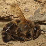 Tote Honigbiene