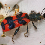 Zottiger Bienenkäfer Trichodes alvearius
